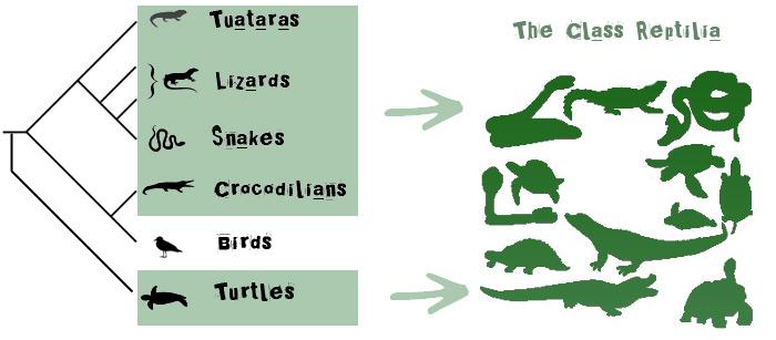 Class-Reptilia-Cladogram2