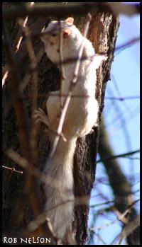 white_squirrel