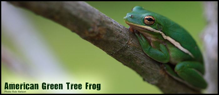 American-Green-tree-frog-pic