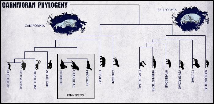 Carnivore-phylogeny