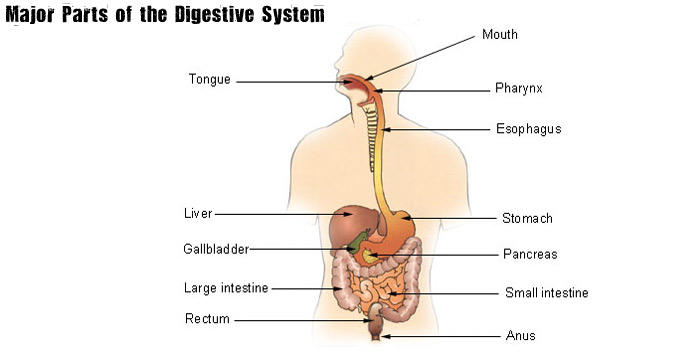 digestive system vocabulary terms