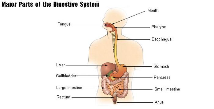 Digestive-System-Diagram2