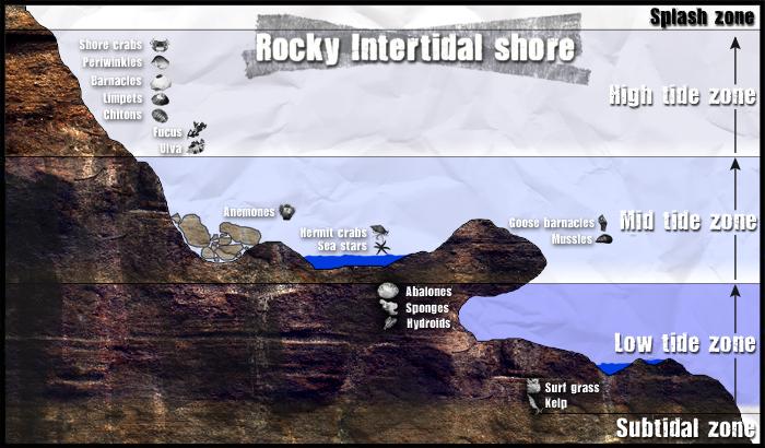 Intertidal-graphic