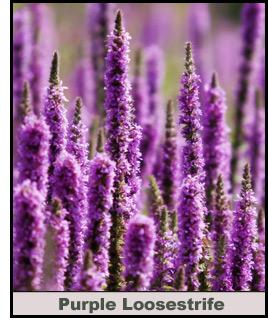 PurpleLoosestife