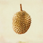 Durian - a fruit