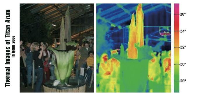 Thermal-images-titan-arum