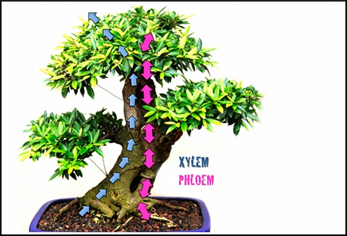 Transport-Xylem&phloem-final