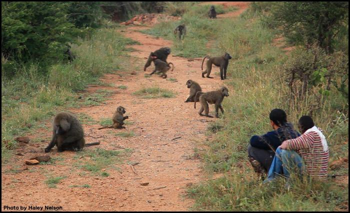baboon-study