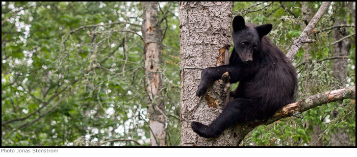 black-bear-in-tree