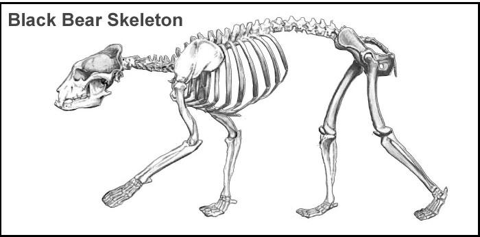 black-bear-skeleton