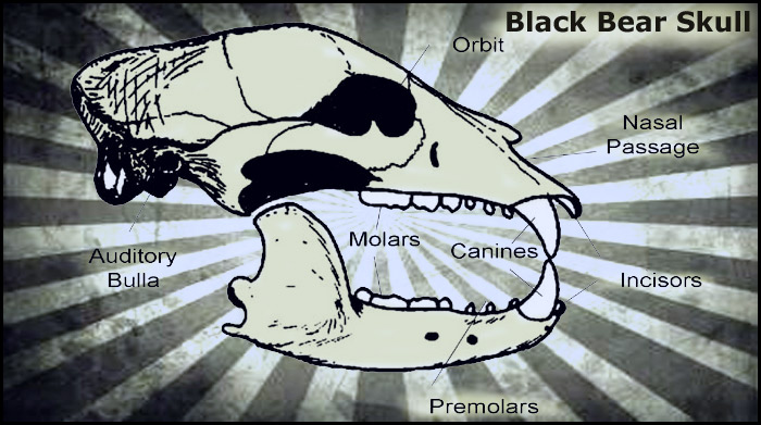 black-bear-skull