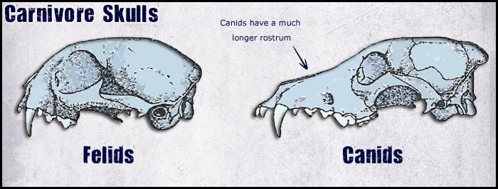 canid-skulls