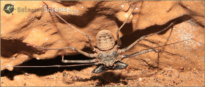 cave_whipspider