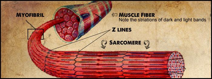 musclefibre