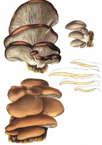 pleurotus-ostreatus