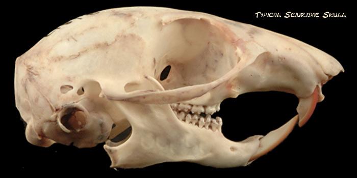 sciuridae-skull