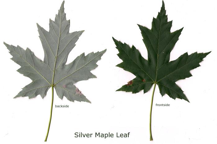 Silver Maple Untamed Science