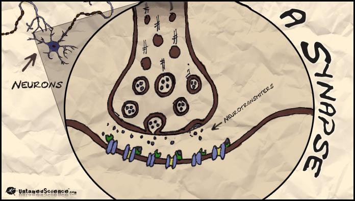 synapsewneurons