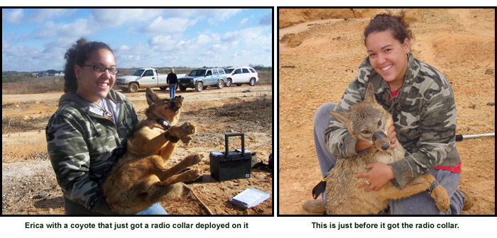 coyote-research-2