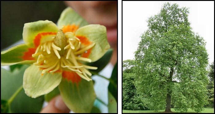 American Tulip Tree Untamed Science