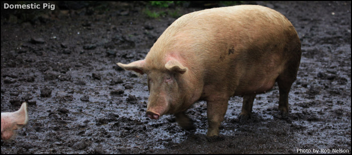 Domestic Pig: Science, Breeds, and Life History of the Pig