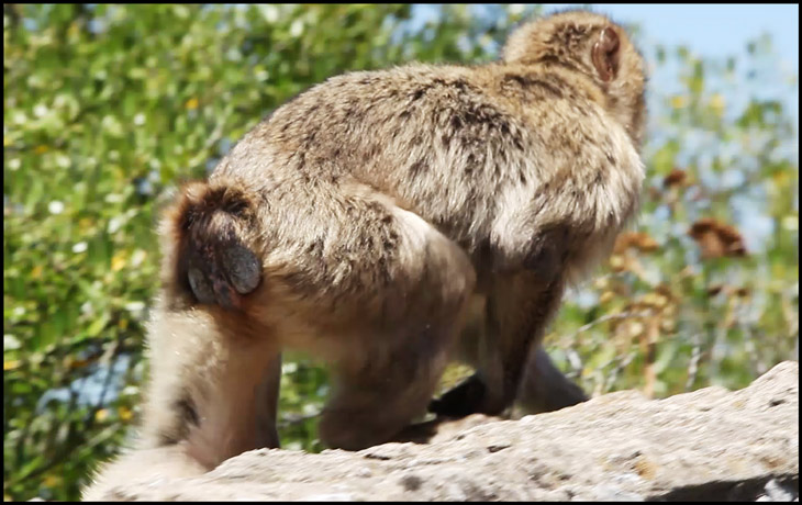 rear end of a barbary macaque