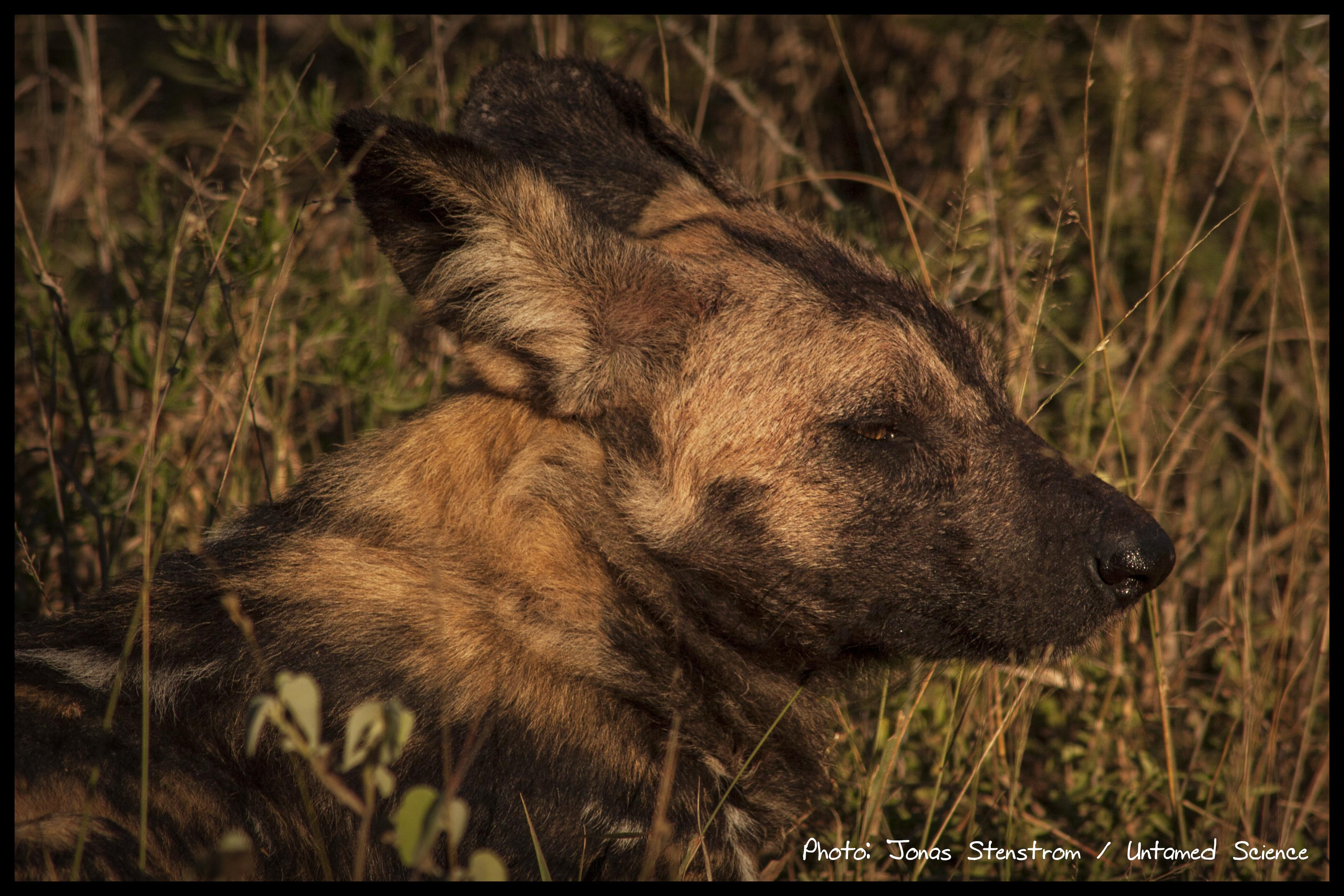 Wild dog_South Africa01_small