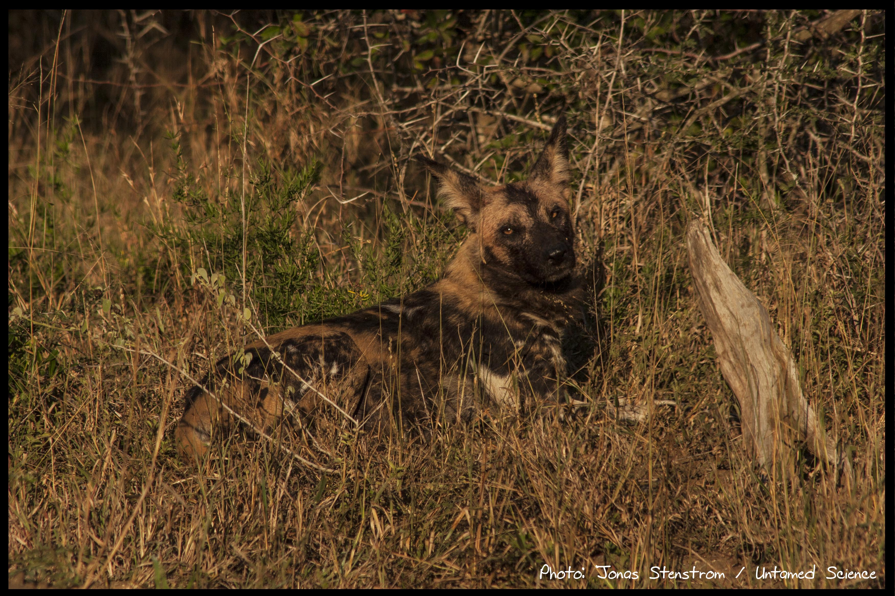 Wild dog_South Africa02_small