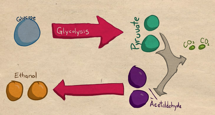 glycolysis to alcoholic fermentation diagram