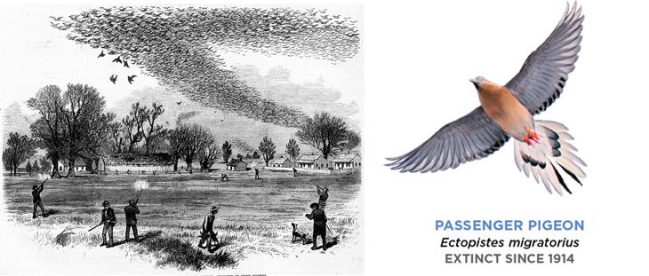 passenger-pigeon extinction