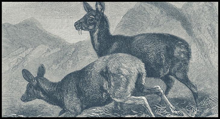 fanged-deer-1