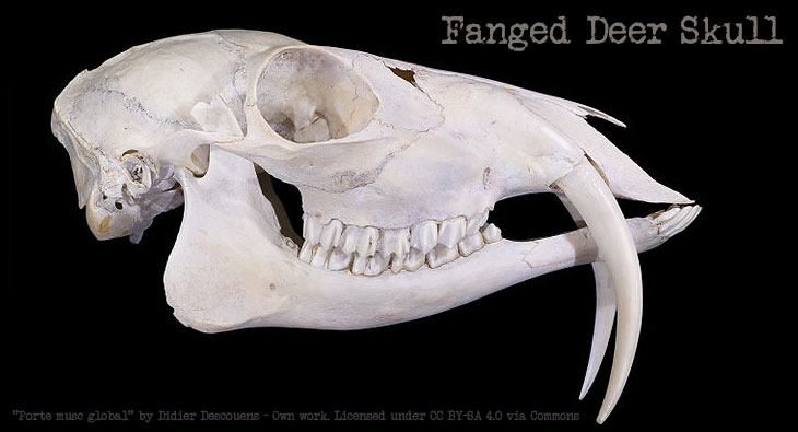 fanged-deer4