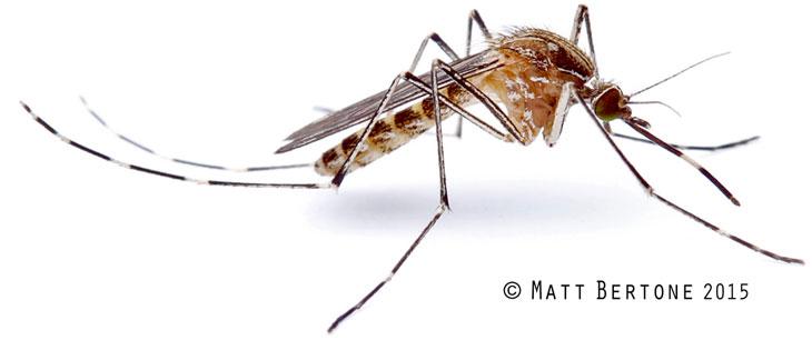 mosquito-matt