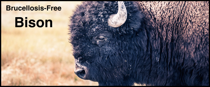 Brucellosis-Bison