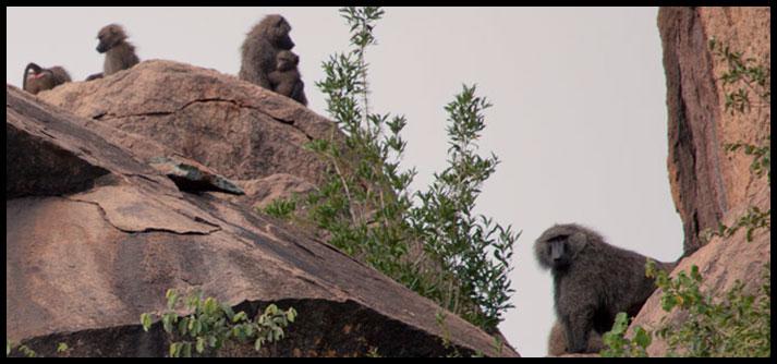 baboon-troop
