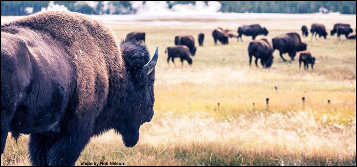 buffalo-in-yellowstone