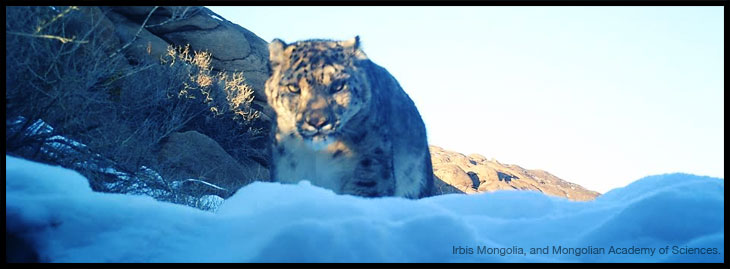 snow-leopard-4