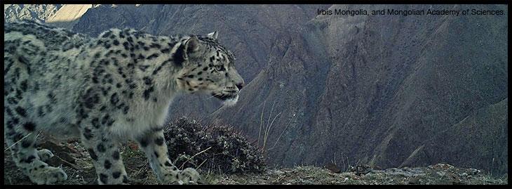 snow leopard pic camera trap
