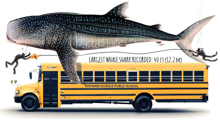 whale-shark-size-relative-to-bus
