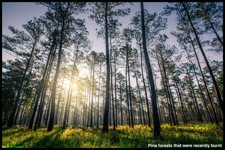 Pine-Forests after fire