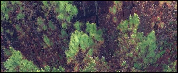 burnt-forest-long-leaf