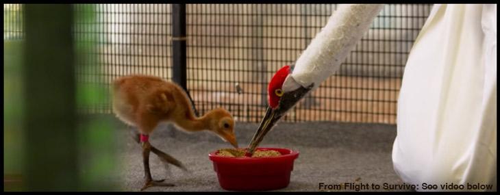whooping-crane-feeding
