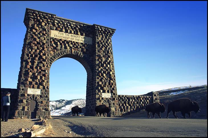 Buffalo in Yellowstone XC ski trip RN (1)