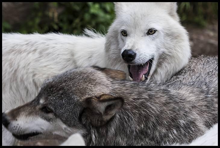 grey-wolf-white-morph