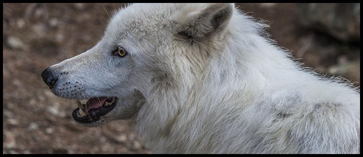 Int Wolf Center-15