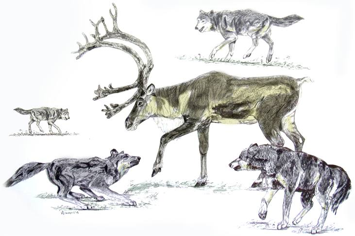 wolf-and-caribou-sketch-art