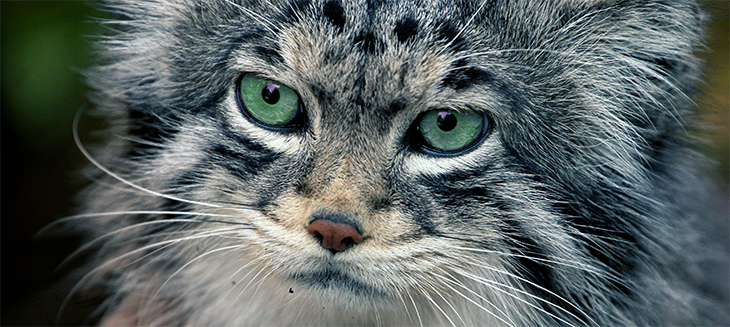pallas-cat-wide