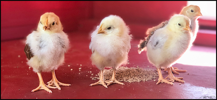 delware chicks and rhode island red chickens